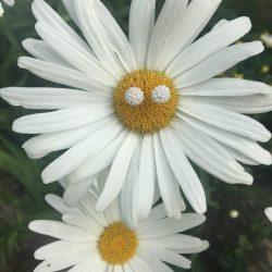 DaisyPic1