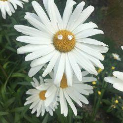 DaisyPic3